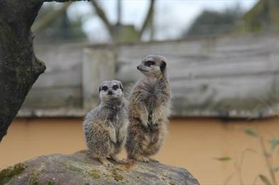 Meerkats on Patrol!!