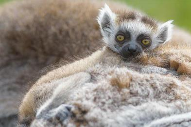 Baby Lemur up close
